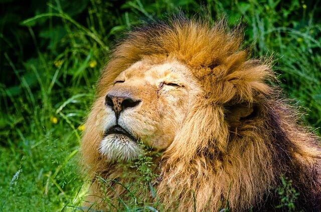 Leão tomando sol -ansiedade x auto estima